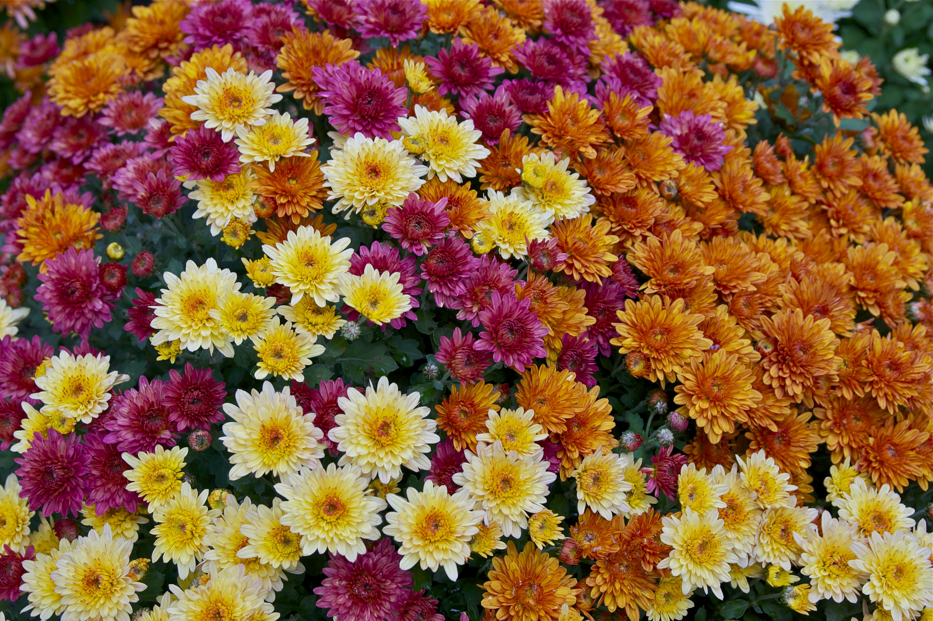 Read more about the article Plant of the Day! Care Tips About This Fall Favorite – Mums!