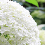 How to Water Wisely During the Summer + Hydrangeas
