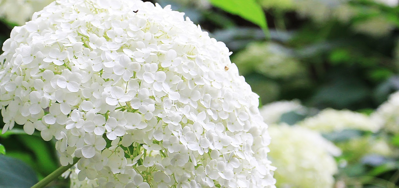 You are currently viewing How to Water Wisely During the Summer + Hydrangeas